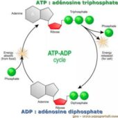 Energy, Atp, And Adp